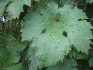 wet-grapes1