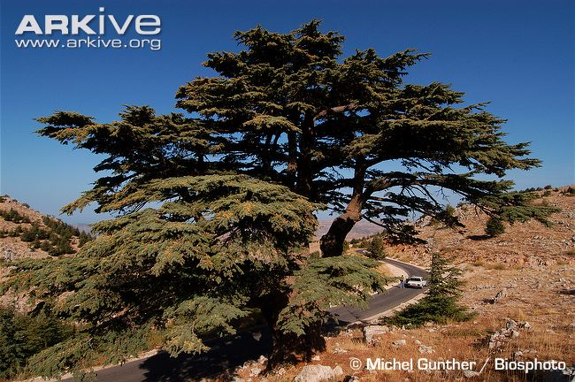 cedar-of-lebanon-growing-at-side-of-road.jpg